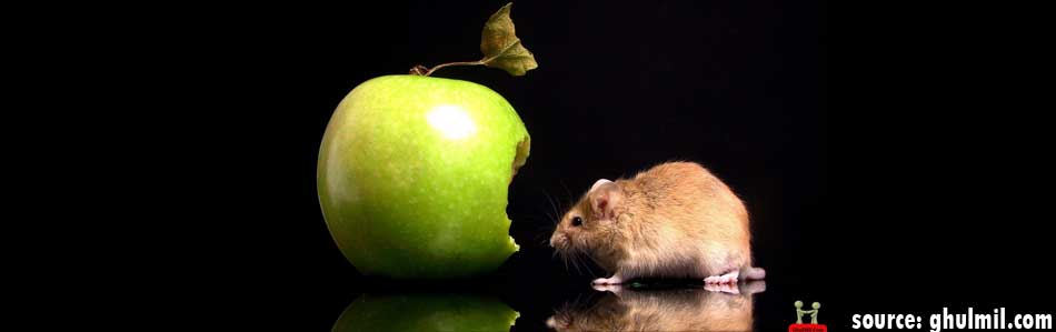 rat_eating_fruit