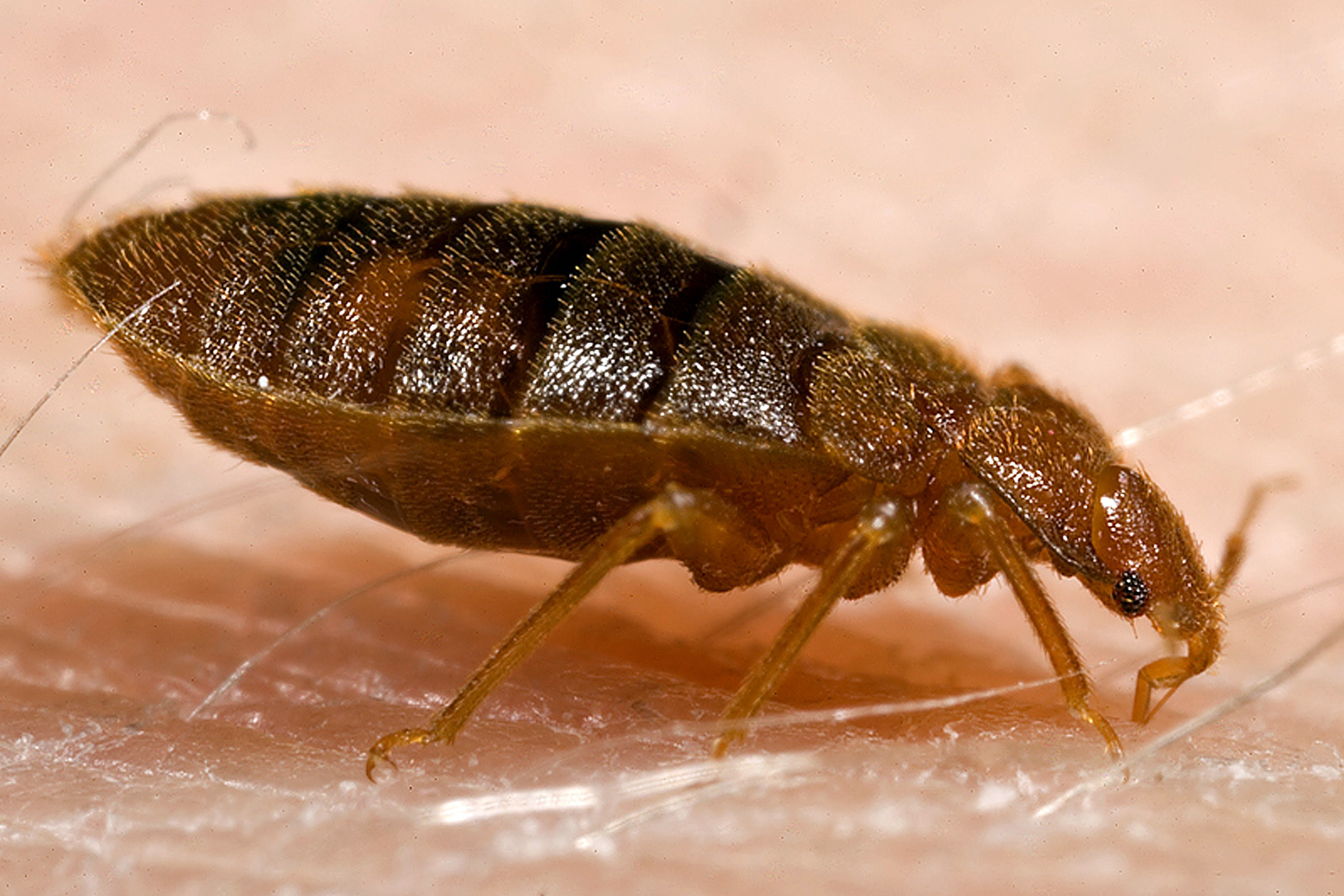 control monitoring and pest maine bug bugs temperatures facts bedbug bed