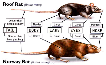 Types Of Rats In Malaysia And Its Life Cycle Norway Rat