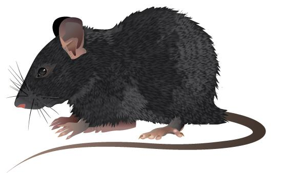 Difference Between Rat And Mice Mouse James White Ants