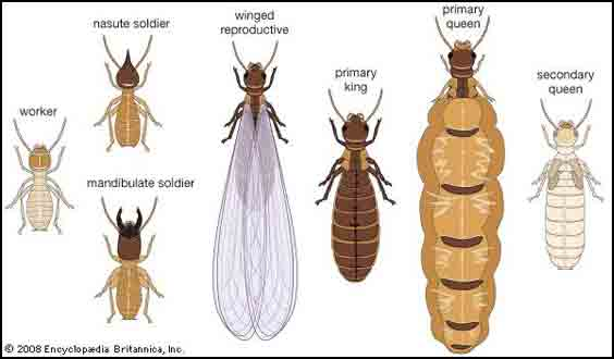 How Destructive Termite Can Be  Find Out More About Termite ControlQueen Termite Life Cycle